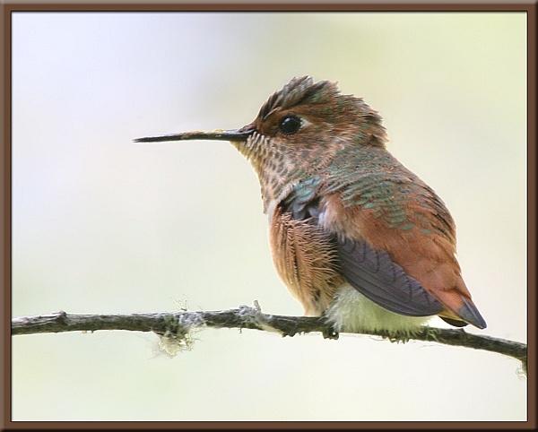 Allen\'s Hummingbird by VNelson