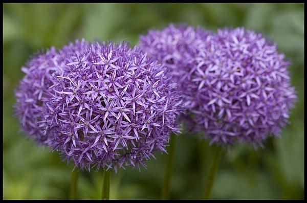 Allium Giganteum by Pete_g