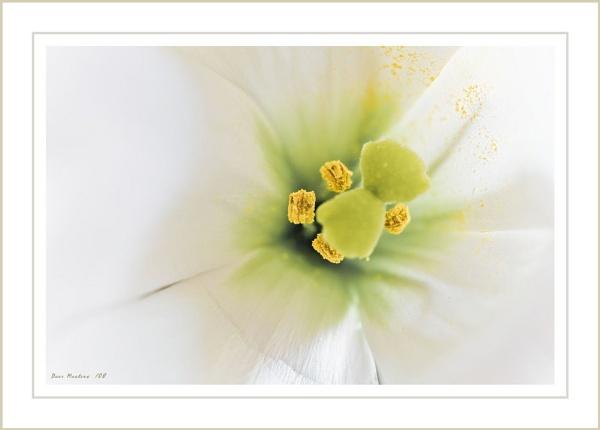 Pollen by Davidmet