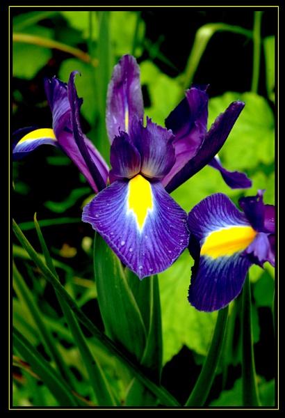 Iris by LizzieN