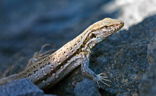 Lizard by MarcPK