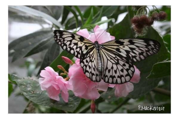 Butterfly by bugdog