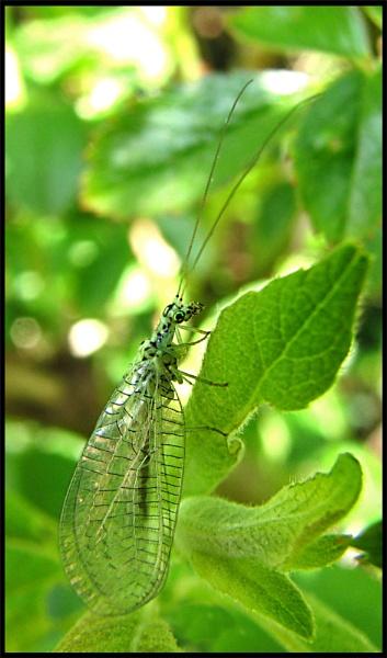 Green Lacewing by KarenFB