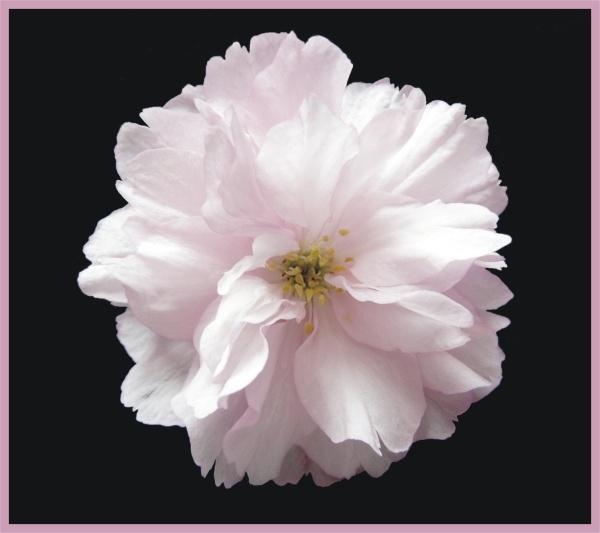Blossom on Black by BarbaraR
