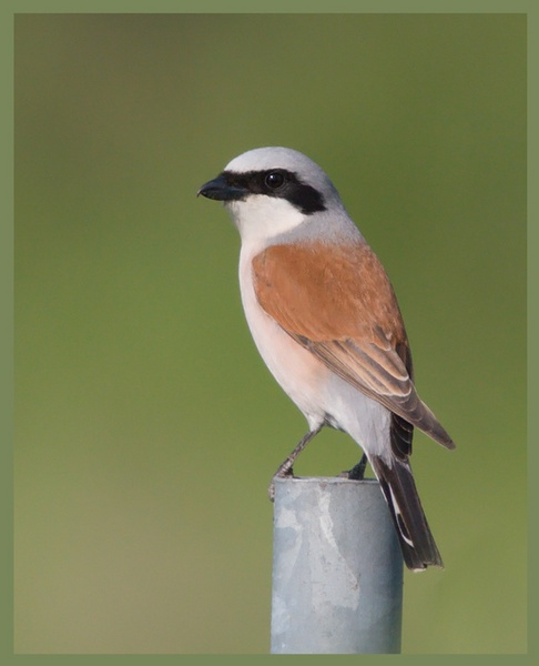 Red-Backed Shrike by Magpiemick