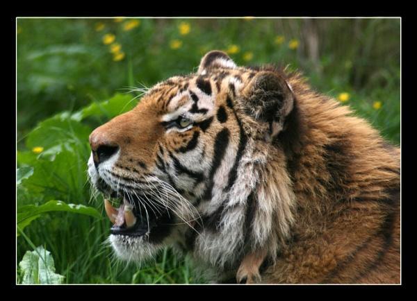 Tiger by MandsH