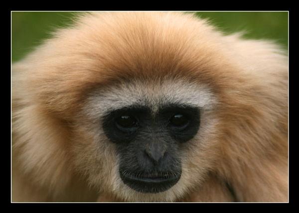 White Handed Gibbon by MandsH