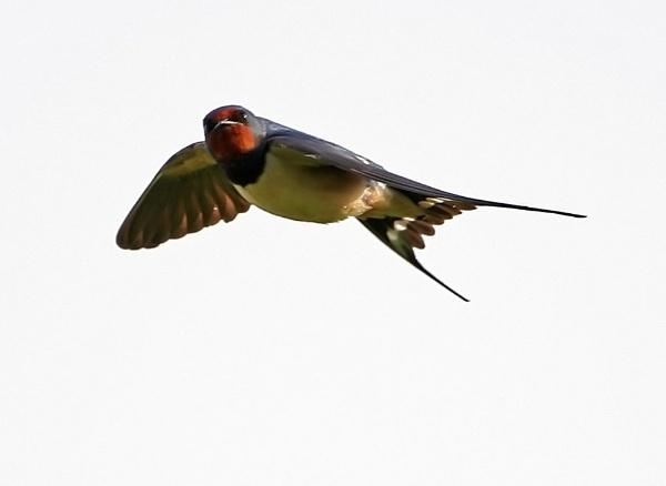 Swallow in flight by paulxpaul