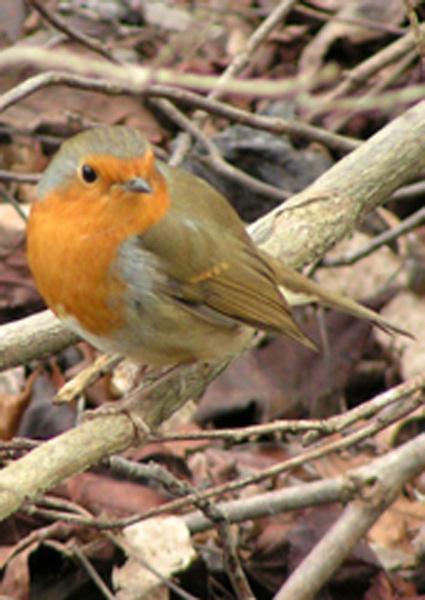 Robin by David0944