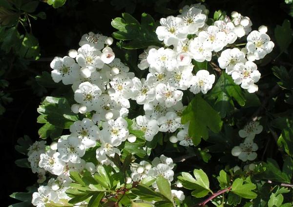 Hawthorn Blossom by David0944