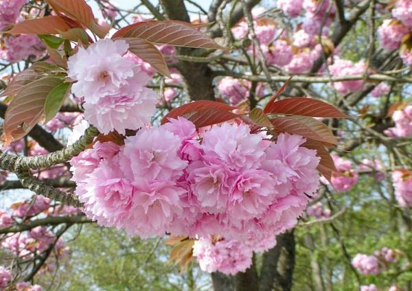Almond Blossom by David0944