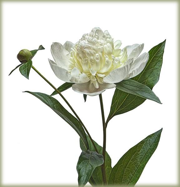 White Paeonia by olesyak