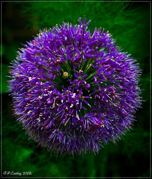 Allium by halena2