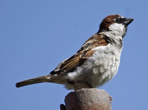 Sparrow by Bogdan_Fiscutean