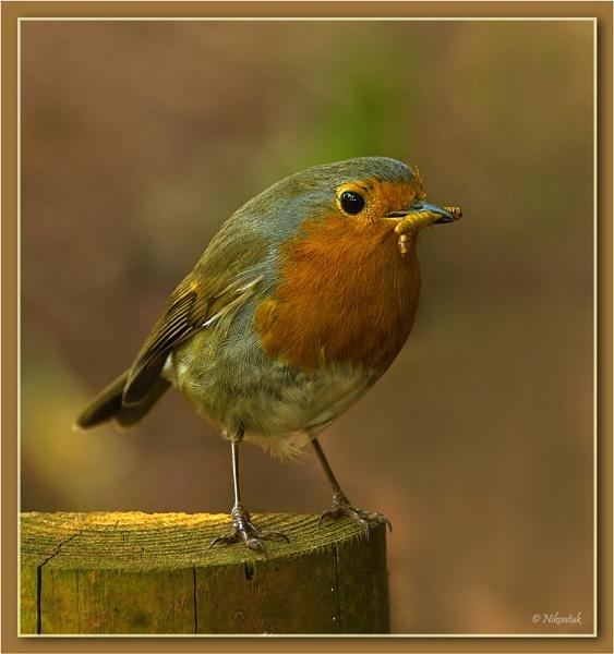Robin by FeatherFriend