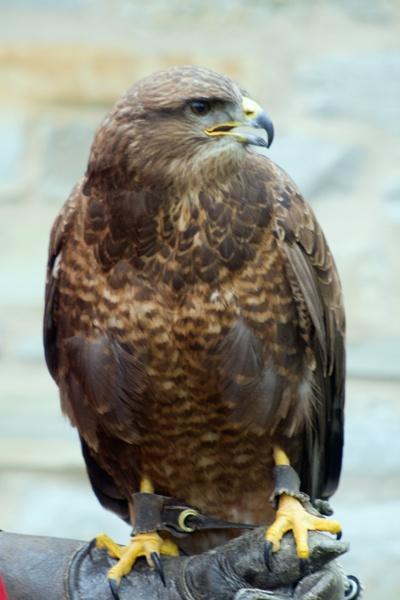 Hawk by neilw