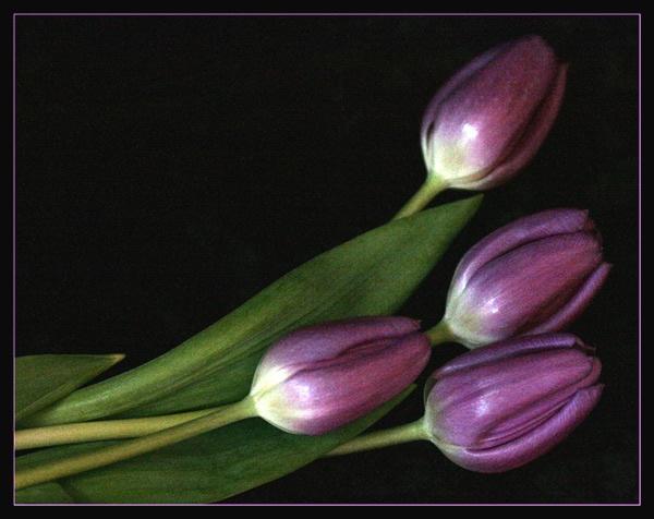 tulips by dwarf