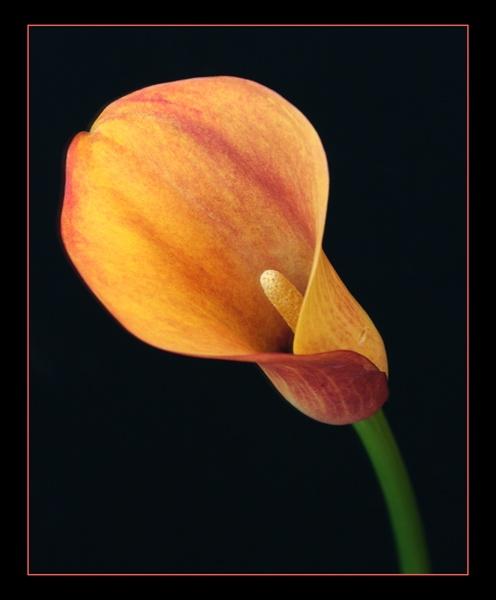 calla lilly by dwarf