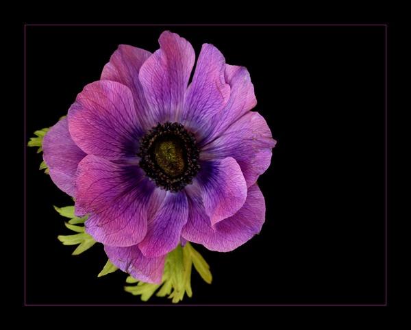 anemone 2 by dwarf