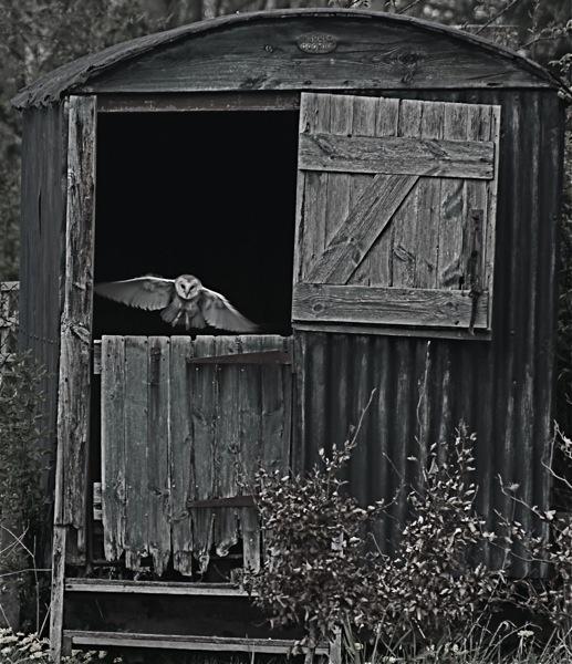 Barn Owl by anpix