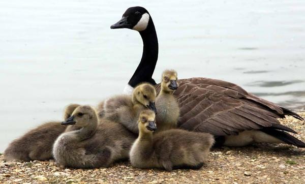 Geese Family(week 3) by marriedandhappy