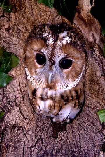 Tawny Owl by chrissharp