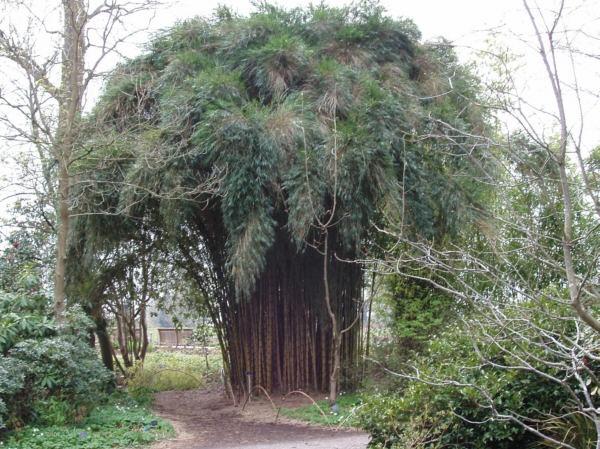 A cane tree by capi123