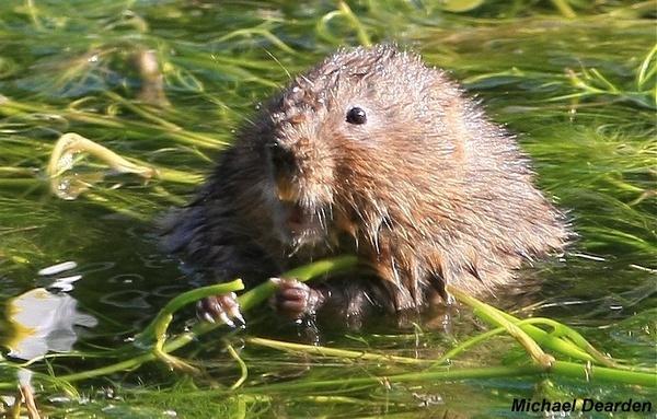 Water vole! by cheddar-caveman