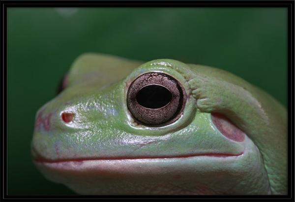 Macro Frog by eosdpete