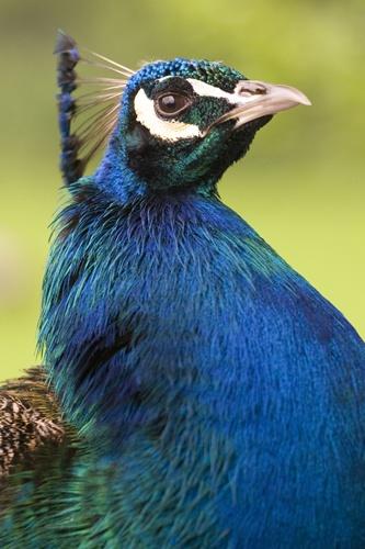 Peacock 2 by Skatershrew