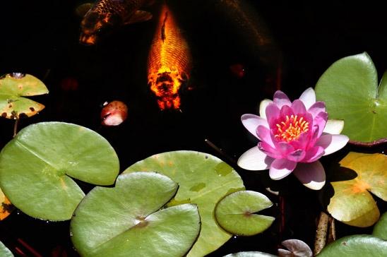 Koi Pond by BHSDallas