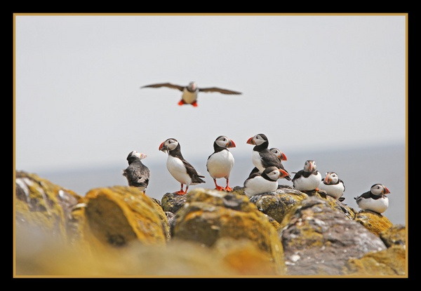Isle Of May Puffins by jamil