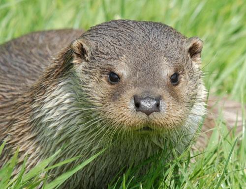 BWC otter by Newtman