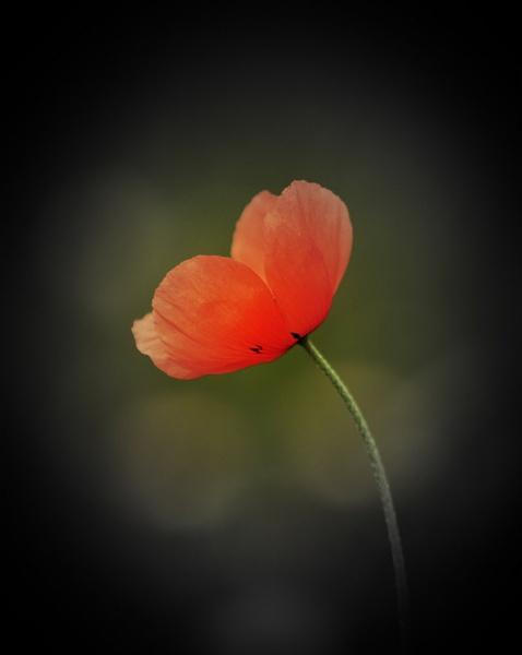 Poppy by emefbee