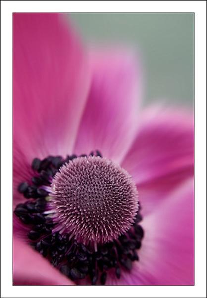 ~ Anemone ~ by KKmoments