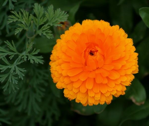 orange marigold by Bear46404