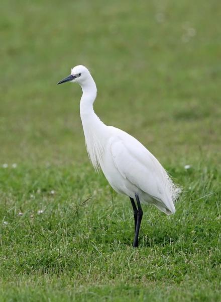 Little Egret by paulxpaul