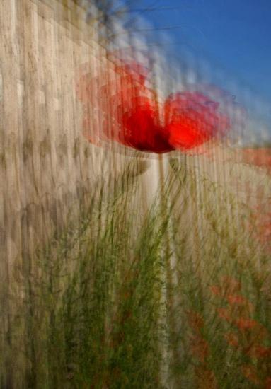 Poppy multi exposure by RosePhoto