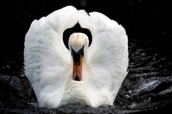 Angry Swan by Shaun_Mclean