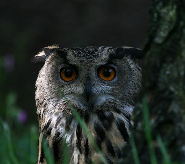 Eagle Owl by EDWARDPARRISH