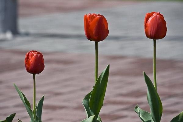 Tulips Original by olesyak