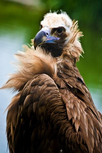 eagle by vinnyc