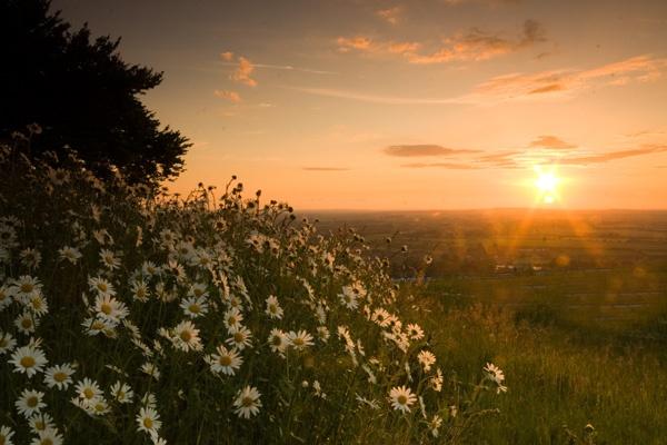 Sunset Marguerites2 by chilternsdavid