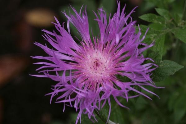 Centaurea Dealbata by crabbo_1