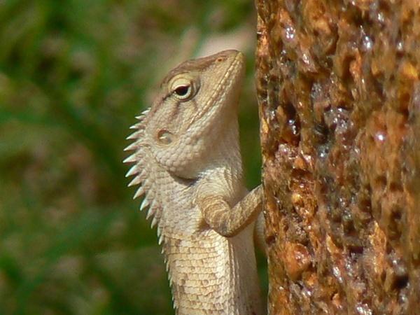 lizard by jove