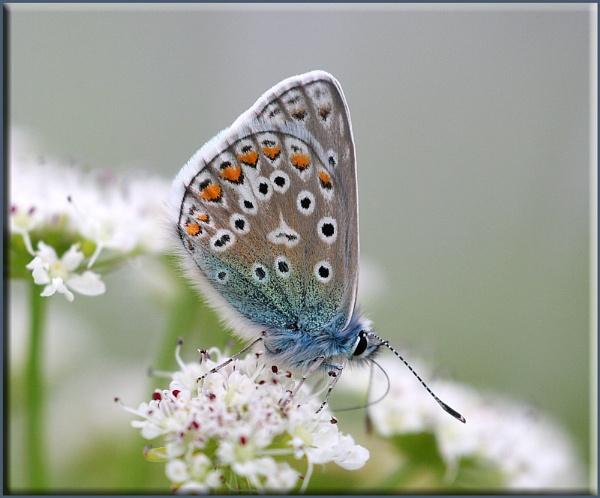 Bluey by daffydill56