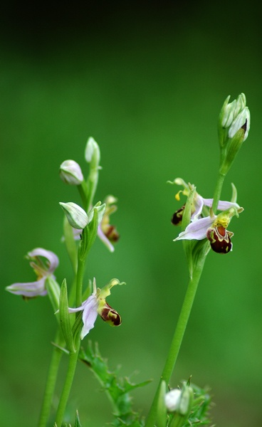 Bee Orchid by missy moo