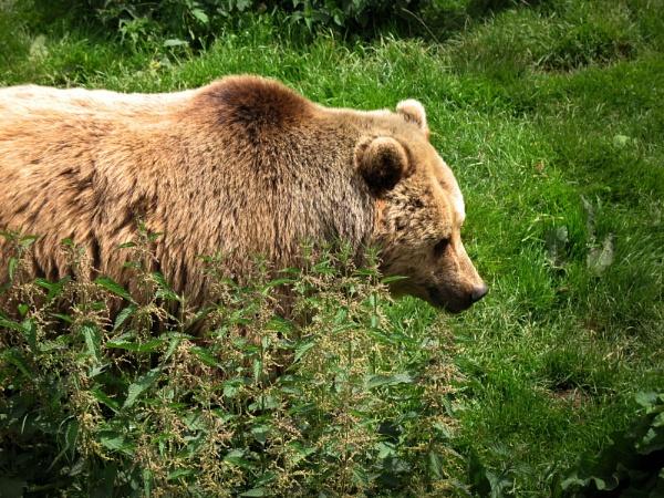 brown bear by bigbed