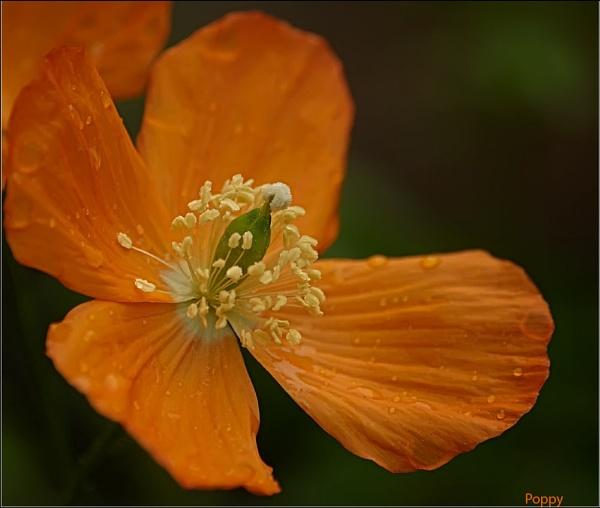 Orange Poppy by Portknockie