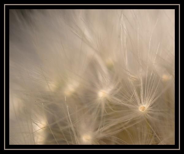 dandelion seed by alfpics